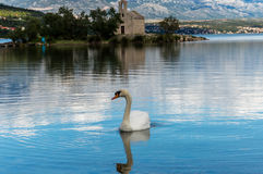 Swan and church. Swan is enjoying a beautiful day near Zadar, Dalmatia, Croatia. In the background is church from 13th century Royalty Free Stock Photography