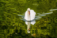 Swan, Cigno Royalty Free Stock Photography