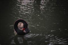 Swan circle. Black swan making a circle with its neck Stock Photos