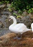 Swan Royalty Free Stock Image