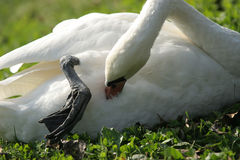 Swan - cleaning feathers Stock Photography