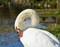 Swan cleaning feathers on the field under sunrays, portrait Stock Images