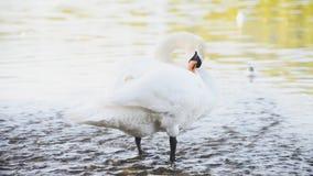 Swan. stock footage