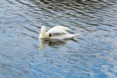 A swan cleaning itself in wavy water. Of Caldecotte lake Stock Image