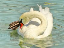Swan cleaning parasites Royalty Free Stock Image