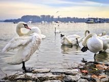 Swan cleaning at the river coast Stock Image
