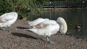 Swan Cleaning stock footage