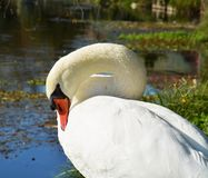 Swan cleaning wings on the field under sun, portrait Royalty Free Stock Photography