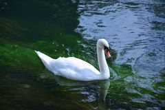 Swan. An  swan in clear green water swimming peacefully Royalty Free Stock Photos