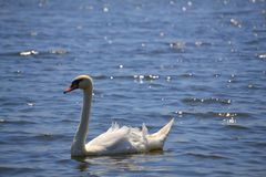 Swan. A swan in the clear water. Photo was taken near Pálava, Czech Republic Royalty Free Stock Images