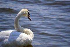 Swan. A swan in the clear water. Photo was taken near Pálava, Czech Republic Royalty Free Stock Photos