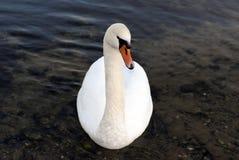 Swan close-up Royalty Free Stock Photos