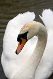 Swan Close-up. A Closeup of a white swan Royalty Free Stock Photography