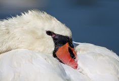 Swan close-up Stock Images