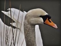 Swan. Close up of a graceful swan through reeds river Royalty Free Stock Photo