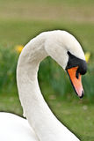 Swan. Close up of head of a white Swan Royalty Free Stock Image