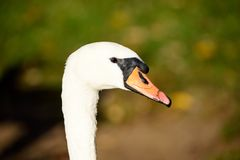 Swan close up on lake water in sunny autumn day. Collecting food for flying south before winter Stock Image