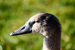 Swan close up on lake water in sunny autumn day. Collecting food for flying south before winter Royalty Free Stock Images