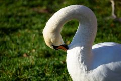 Swan close up on lake water in sunny autumn day. Collecting food for flying south before winter Stock Images