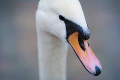 Swan close up Royalty Free Stock Image