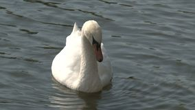 Swan close-up, Prague stock video footage