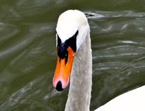 Swan. Close up of the swans face and beak Stock Photography
