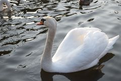 Swan close up on waves Stock Images
