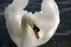 Swan. Close up on the white swan Royalty Free Stock Photos