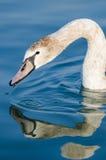 Swan closeup stock photos