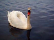 Swan. Closeup of a swan swimming Stock Photos