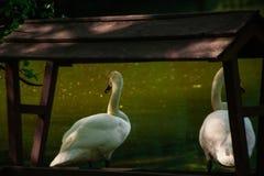 Swan closeup royalty free stock photo