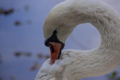 Swan closeup stock photography