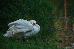 Swan closeup royalty free stock photography