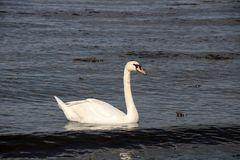 Swan in a Coastal River Estuary. In Scotland Royalty Free Stock Photo