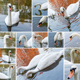 Swan collage Royalty Free Stock Photo
