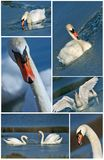 Swan collection Royalty Free Stock Photo