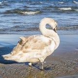 Swan in the colors of juveniles. Mute Swan in the colors of juveniles Royalty Free Stock Photo
