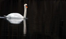 Swan contrast Royalty Free Stock Images
