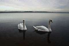Swan couple. Swan copule on the lake Royalty Free Stock Images