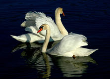 Swan couple. A swan couple on the sunset royalty free stock images