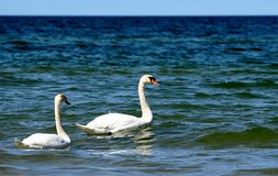 A swan couple Royalty Free Stock Photo