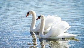Swan couple. Swans at the starnberg lake - near munich - germany Royalty Free Stock Photos