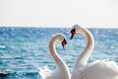 Swan couple. On a background of water, close-up Royalty Free Stock Image