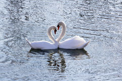 Swan couple Stock Image
