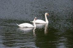Swan couple Royalty Free Stock Photo