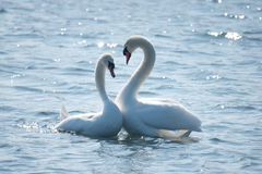 Swan couple in courtship. A swan couple in courtship creating a floating heart royalty free stock image