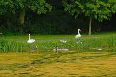 Swan family in the grass on the side of the pool royalty free stock images
