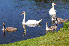Swan couple with four cygnets Royalty Free Stock Images