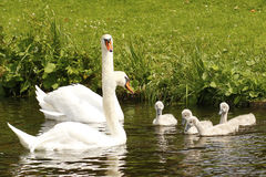 Swan couple with four small cygnets Royalty Free Stock Photos