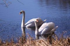 Swan couple Stock Photos